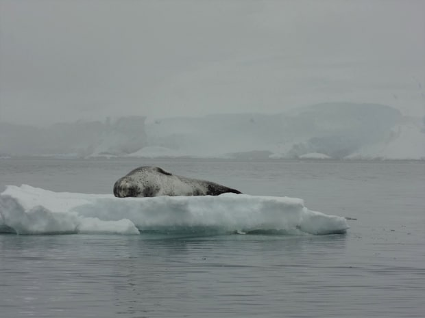 Lone seal resting on a small iceberg in Antarctica seen from a small cruise ship.