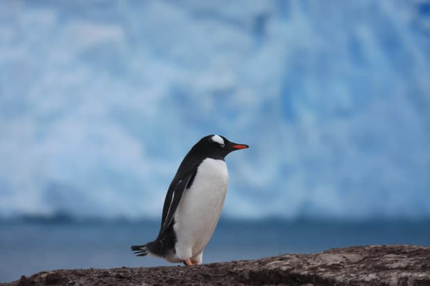 Up close penguin on land in Antarctica seen from a small ship cruise.