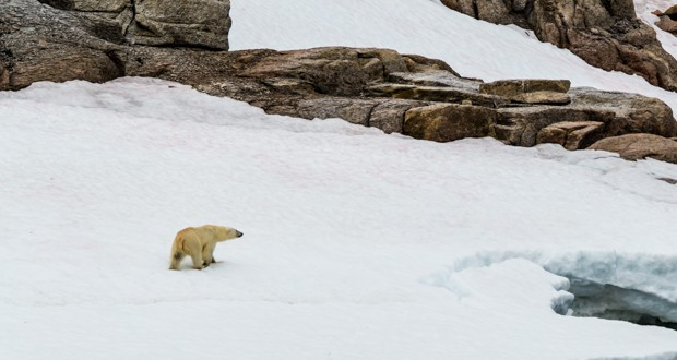 A polar bear walking on a snowy shoreline in the Arctic