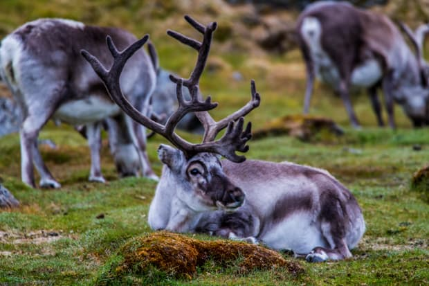 A reindeer laying on the grass in the foreground with other reindeer grazing in the background