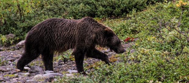 Bear seen from a land tour to Denali National Park Alaska.