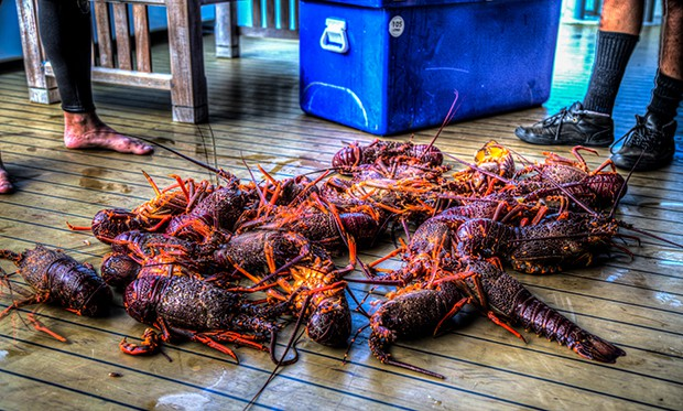 Fresh Crayfish pulled up on deck aboard a small ship cruise in New Zealand.