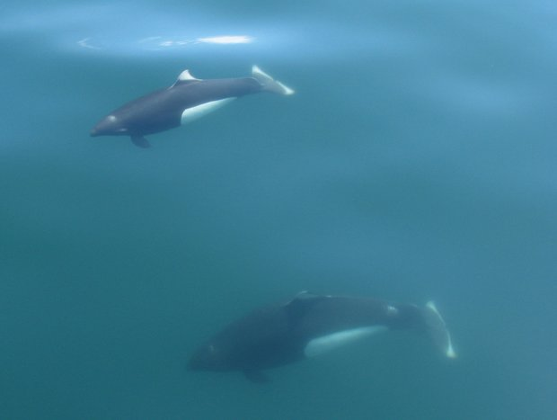 Two Orcas swimming beneath the ocean surface in Alaska.