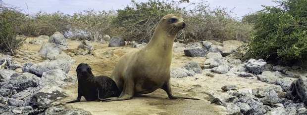 A Galapagos Sea Lion and pup walking on a sandy beach in the Galapagos Islands.
