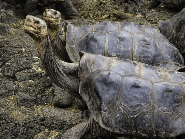 2 giant land tortoises looking up while walking on rocky terrain.