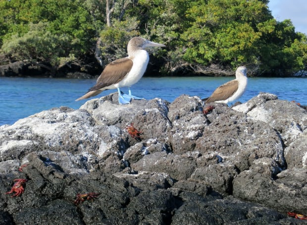 2 Blue Footed Boobies perched on a band of rocks with red Sally Lightfoot Crabs scampering about in the Galapagos.