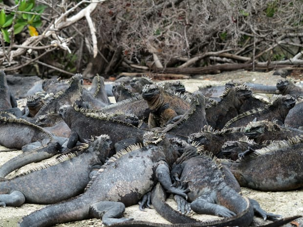 A large group of black marine iguanas sunbathing on top of each other on a beach in the Galapagos.