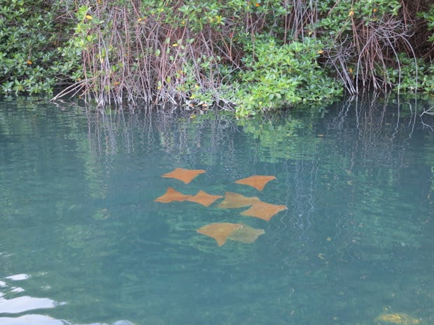Group of orange rays in a mangrove forest of Elizabeth Bay.