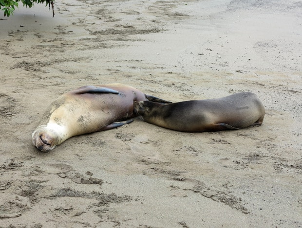 2 small sea lions sleeping on a sandy beach in the Galapagos.