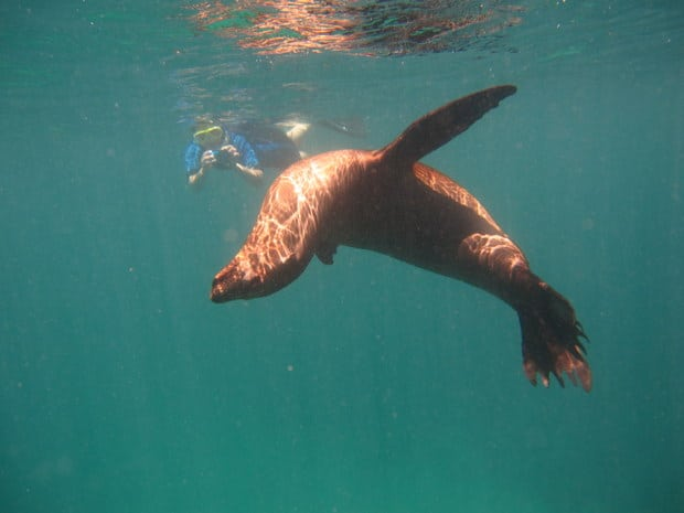 Galapagos traveler swimming with a single sea lion in the Galapagos.