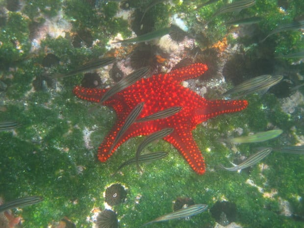 Vibrant red starfish and with small fish swimming and sea urchins on the tidal floor in the Galapagos.