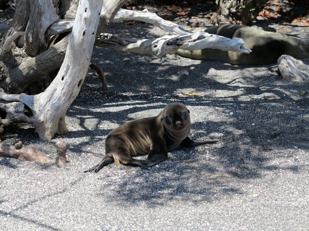 Lone sea lion pup lounging in the shade on a beach in the Galapagos.