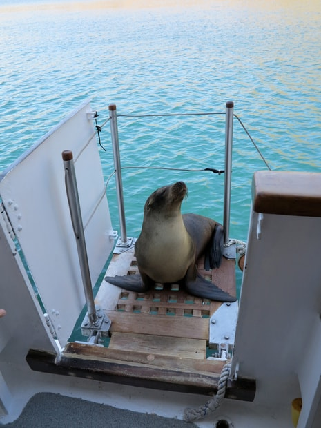 A single sea lion resting on the boat landing of the Beluga small ship vessel.