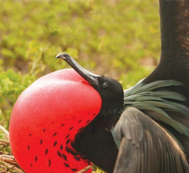 Frigate bird seen on land excursion off Galapagos small ship cruise.