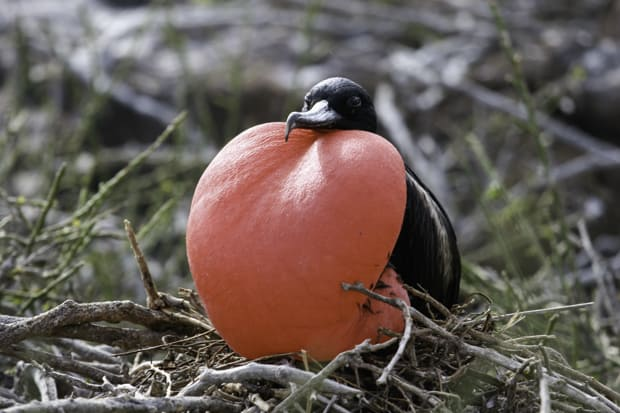 A frigate bird with it's puffed red pouch sitting in a nest on a Galapagos Island.
