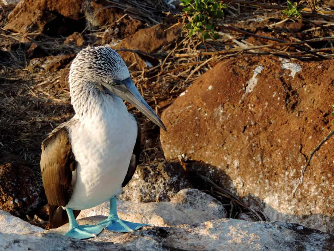 A Blue Footed Booby standing on a rocky shore in the Galapagos.