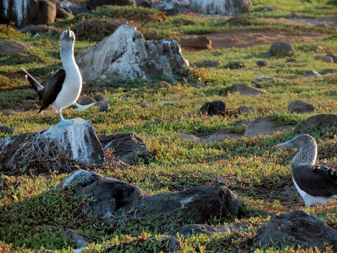 1 Blue Footed Booby dancing and singing on a rock to another Booby perched on a rock in the Galapagos.