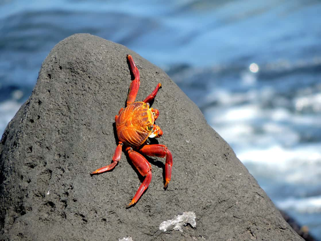 Red and yellow Sally Lightfoot crab crawling on a rock next to the ocean.