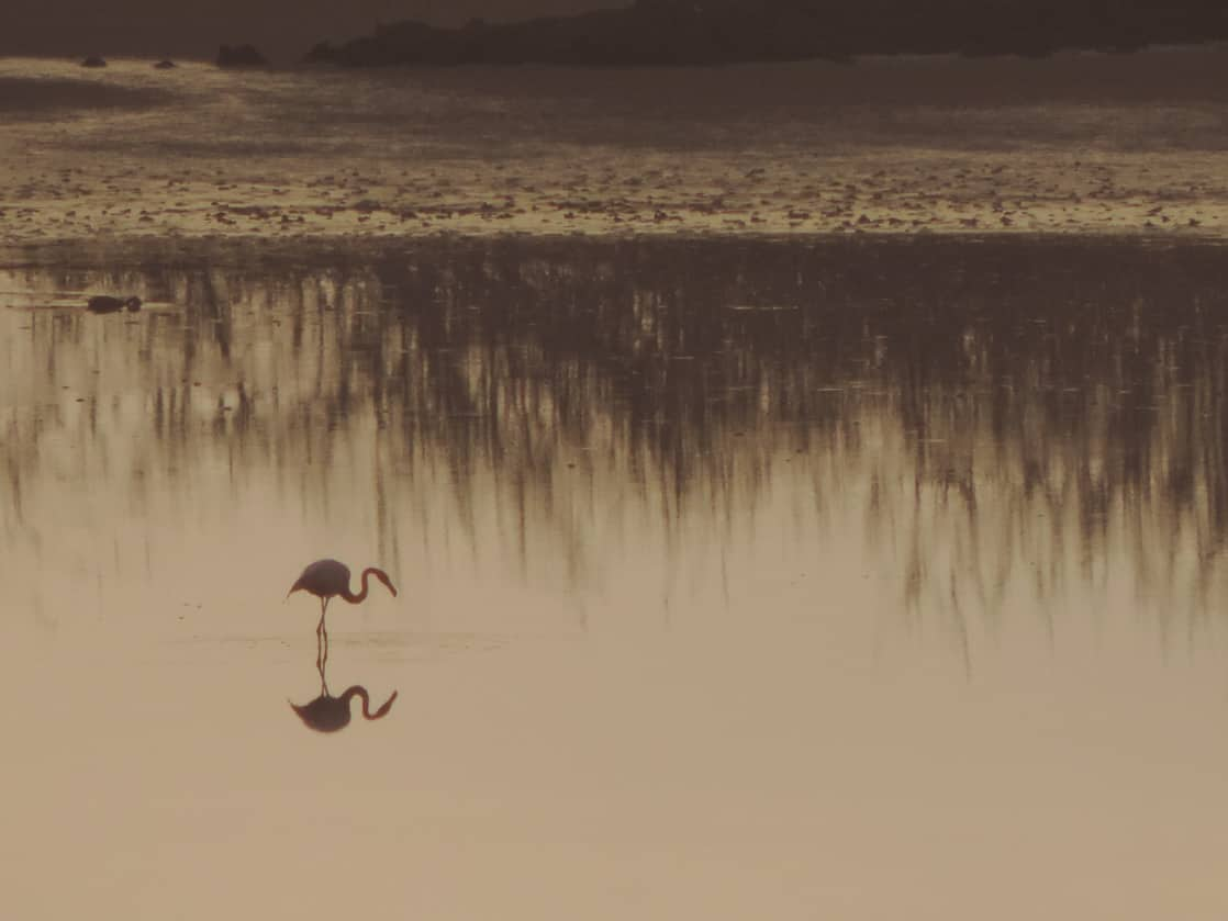 Single flamingo standing on a shallow pond at sunset.