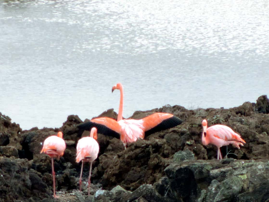 4 flamingos on a rocky shoreline with one flamingo with it's wings out.