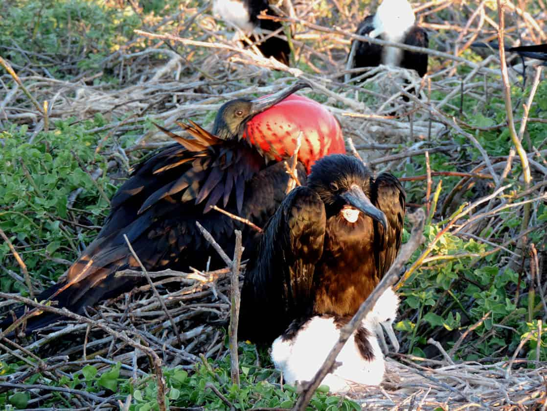 Frigate bird with red puffed out chest and female with chick on a nest in the Galapagos.