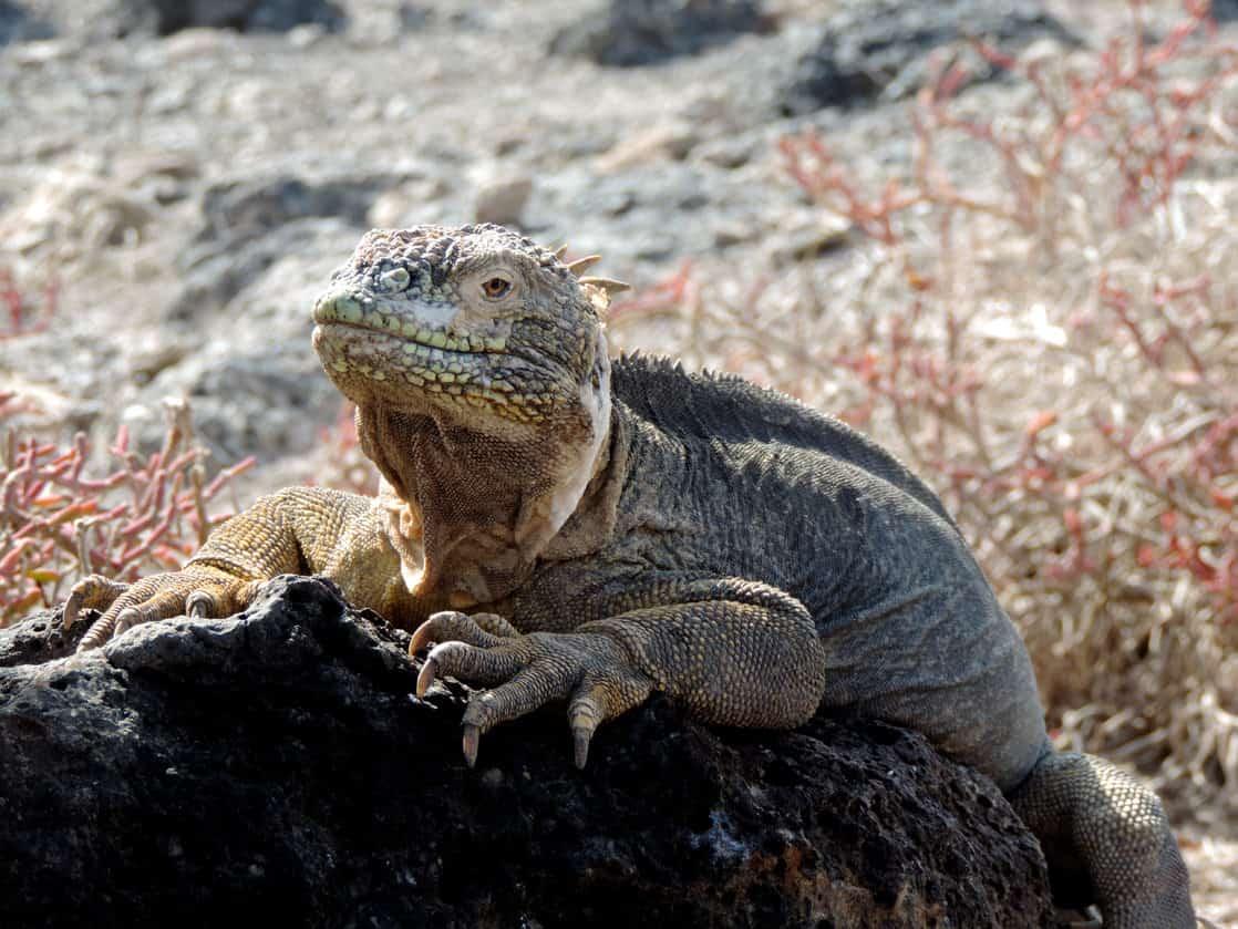 Large grey and yellow iguana sunbathing on a rock.