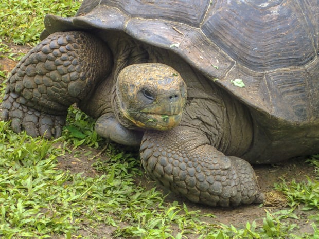 Closeup of a land tortoise in the Galapagos.
