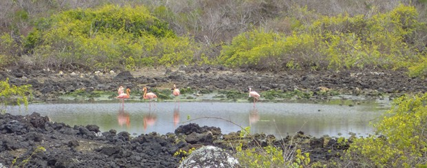 5 pink flamingos standing one legged in a small pond.