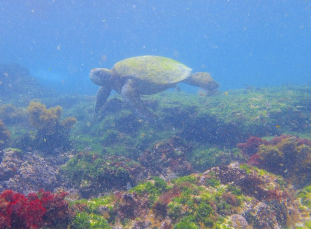 Green sea turtle swimming near the ocean floor with red and green plants on rocks.