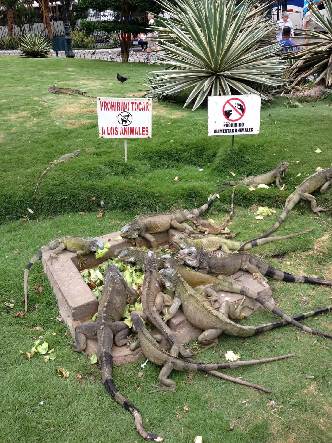 Park in Guayaquil with a dozen iguanas eating lettuce.