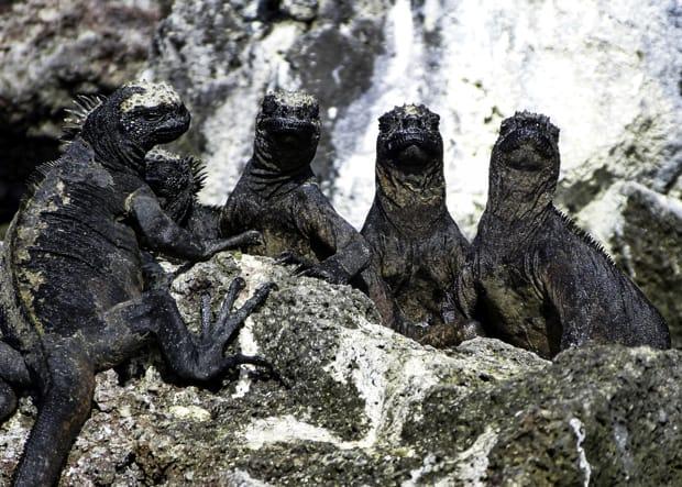 Marine iguanas lounging on rocks sunbathing.