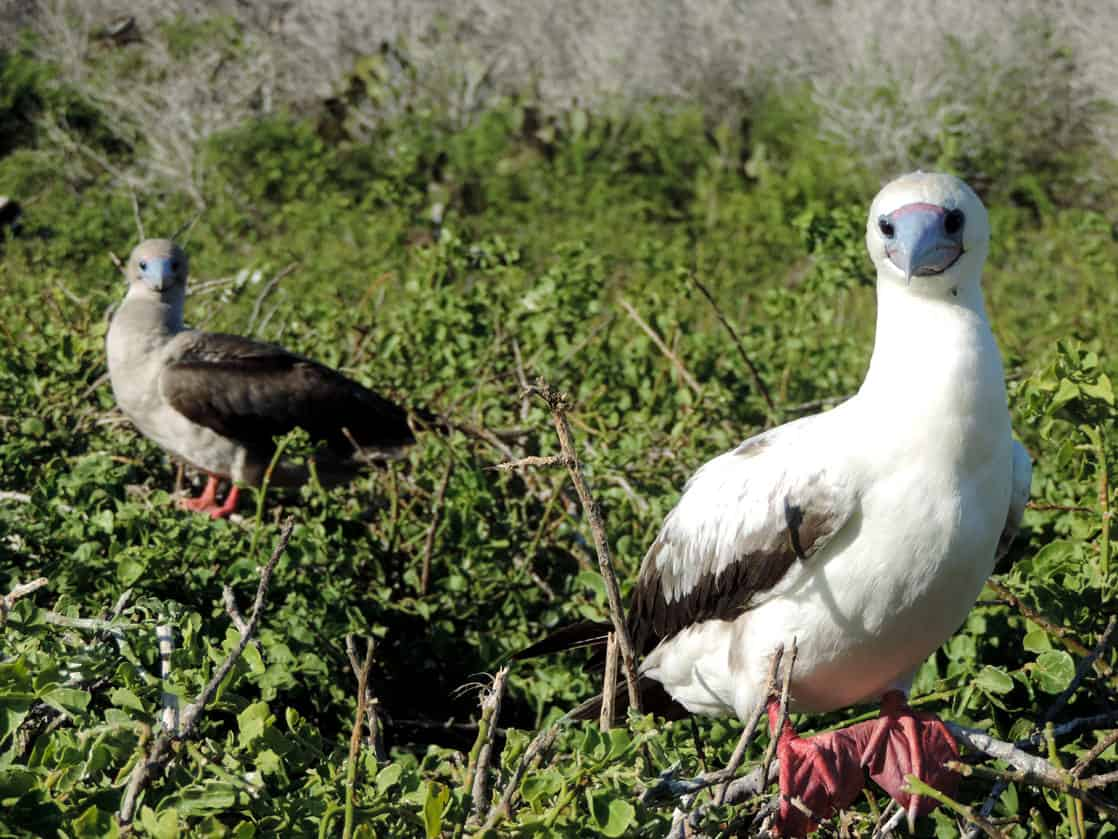 Red Footed Boobies perched on a bush branches in the Galapagos.