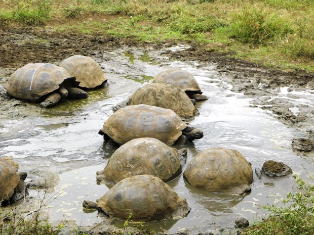A group of land tourtoise resting in muddy water.