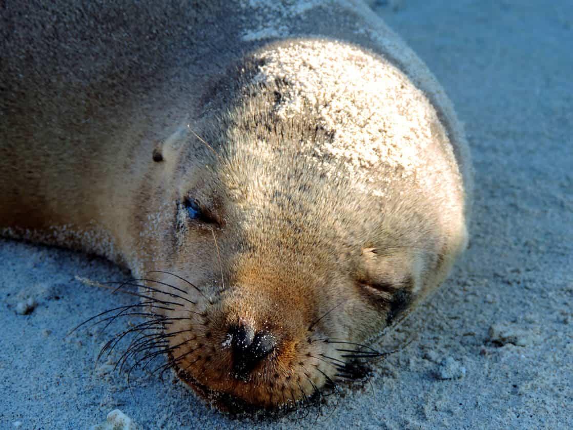 Sleeping sea lion pup head on the sand.