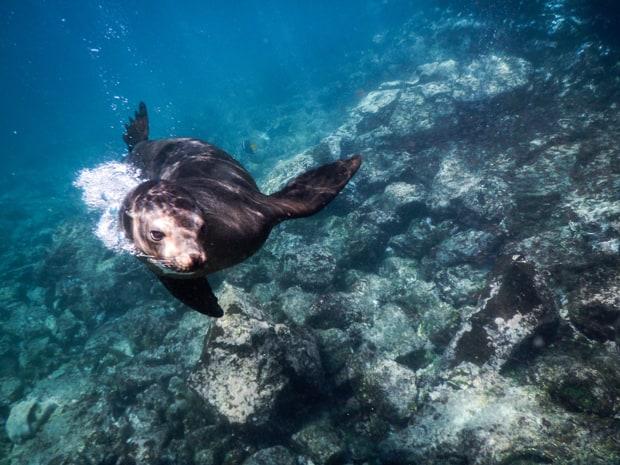 Snorkeling and playing with a Galapagos Sea Lion.