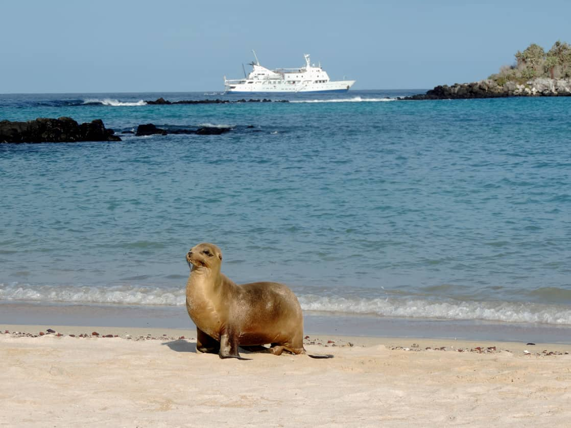 Single sea lion walking on a sandy beach with the Athala II in the background.
