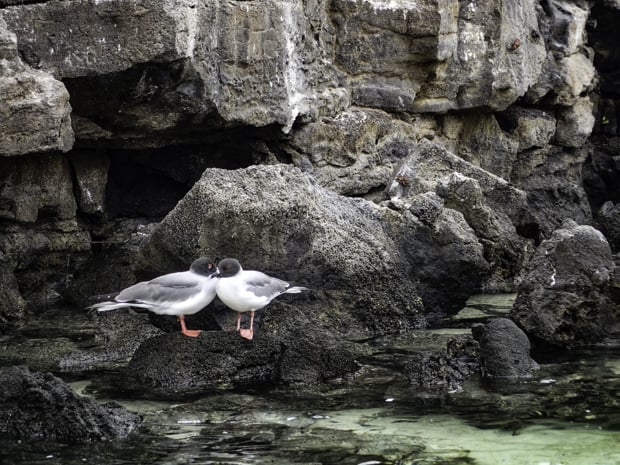 2 sea birds standing on top of a rock on the sea shore in the Galapagos.