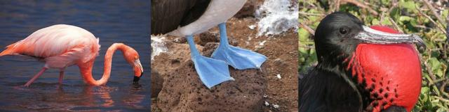 Galapagos flamingo, Blue Footed booby feet and frigatebird with red pouch under its beak are all active in June