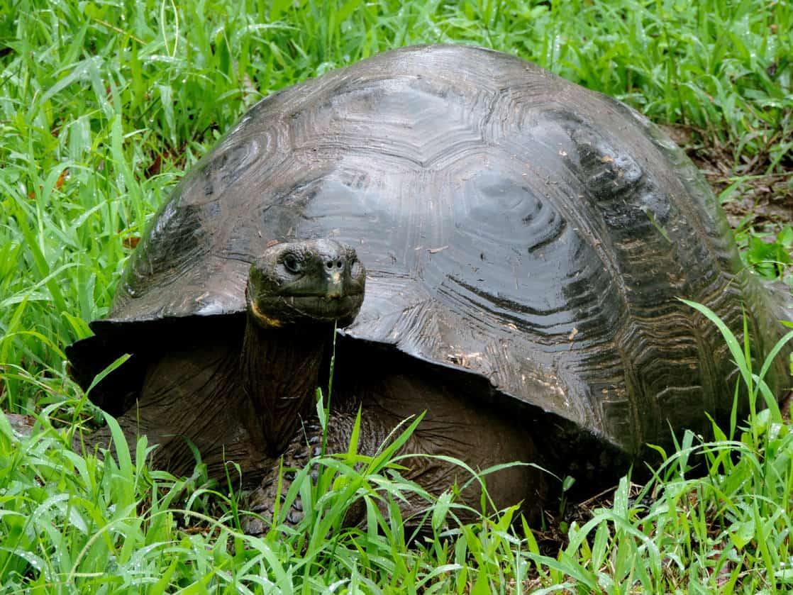 Galapagos tortoise resting in grass with it's head out in the Galapagos.