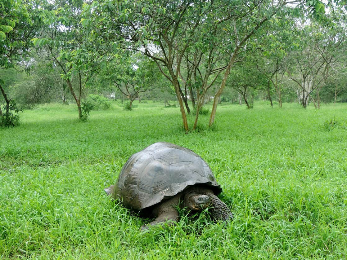 Galapagos land tortoise walking and grazing in a grassy forest.