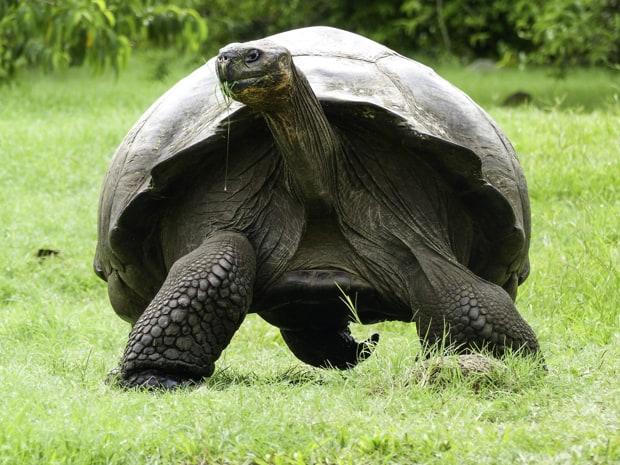 Galapagos land tortoise walking and eating grass.