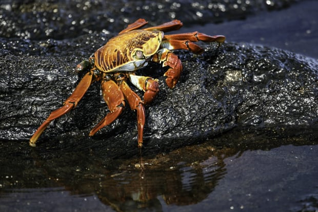 A red and yellow Sally Lightfoot crab walking on a rock by the seashore.