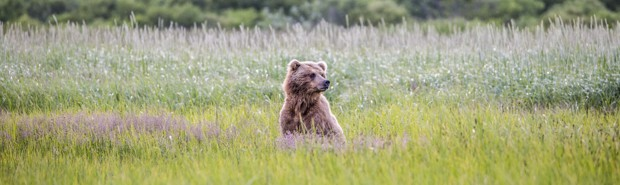 Grizzly bear peering out of tall grass and purple wildflowers as seen from a small ship tour in Katmai Alaska.