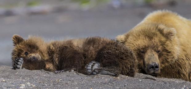 Grizzly bear and its cub sleeping on the beach in Katmai Alaska.