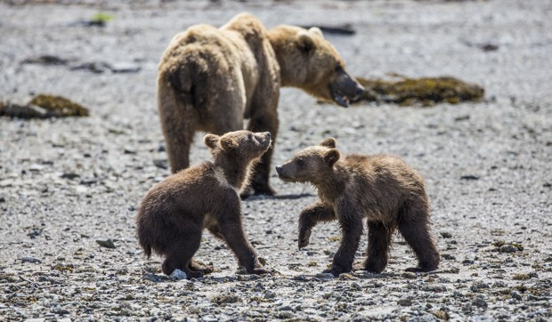 Grizzly bear with its two small cubs as seen from small ship cruise in Katmai Alaska.