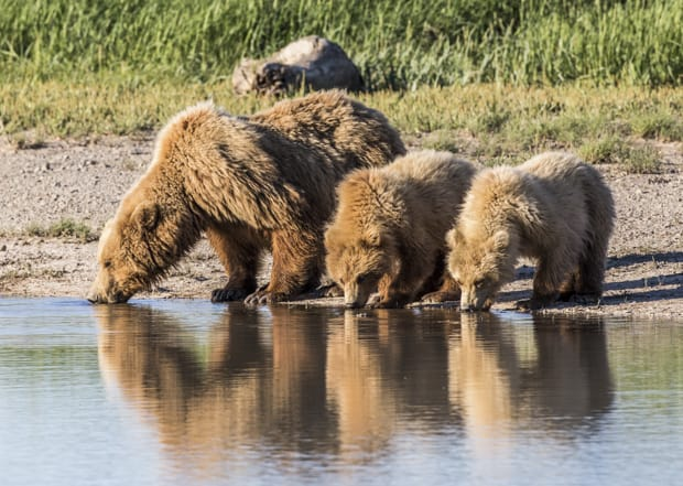 Grizzly bears drinking water at a stream seen on a tour from a small ship cruise in Katmai Alaska.