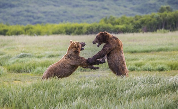 Two male grizzly bears standing on hind legs and fighting in a meadow seen from a distance on tour in Katmai Alaska.