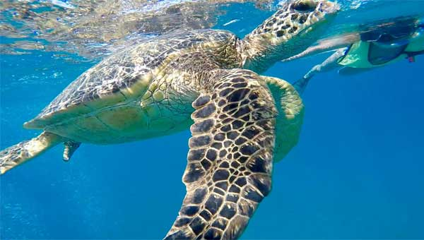 A person snorkeling in Hawaii beside a green Pacific sea turtle