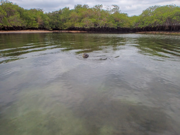 Otter floating on its back in the Galapagos.