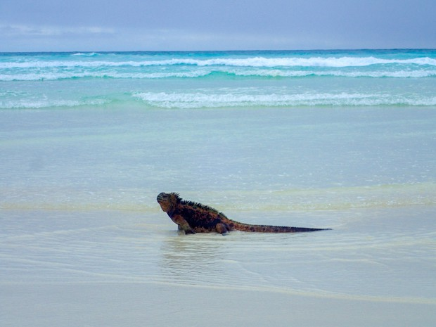 Marine iguana on a sandy beach walking out into the ocean.